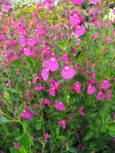 Salvia Suncrest 'Orchid Glow'