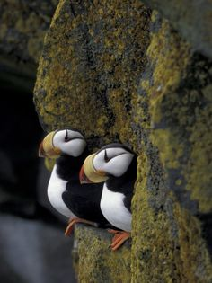 Horned Puffins on Ledge of Lichen, Pribilofs, St. Paul Island, Alaska,