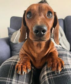 """Outstanding """"Dachshund dogs"""" detail is available on our web pages. Dapple Dachshund Puppy, Brown Dachshund, Dachshund Shirt, Funny Dachshund, Dachshund Love, Miniature Dachshund Puppies, Dachshund Facts, Dachshund Clothes, Doxie Puppies"""