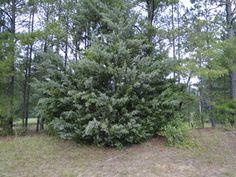 Evergreen: Eastern Red Cedar, Juniperus virginiana.  Indiana native.