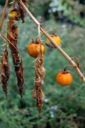 What to Do with Tomato Skins- Use in stocks or dry to make a tomato flour for use in seasonings
