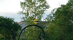 Gold Finch in our back yard.