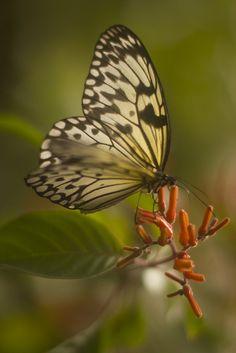 Tree Nymph butterfly (Idea leuconoe)