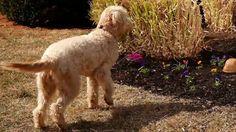 Learn Pet Friendly Landscaping from DIY Old Dresser Drawers, Old Dressers, Rustic Renovations, Dog Backyard, Pet Barrier, Dog Bones, Diy Network, Dog Agility, Pet Beds