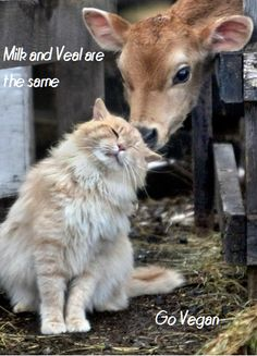 If you use dairy products-you are directly responsible for the killing of baby cows.. Veganism=non-violence.
