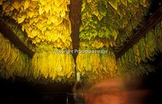 Brightleaf tobacco hanging in old-fashioned stick barn for curing, NC
