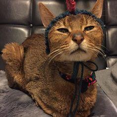 恐竜さん帽子♡♡ #めちゃ似合ってる#面白すぎる#アビたん #お寝ぼけさん#きゅんきゅんする#愛してる #ほんまに長生きしてね #cat#catslove#abyssinian#catphoto#loveabyssinian#abyssiniancat#abyssinianphoto #猫#ネコ#猫好き#愛猫#帽子猫