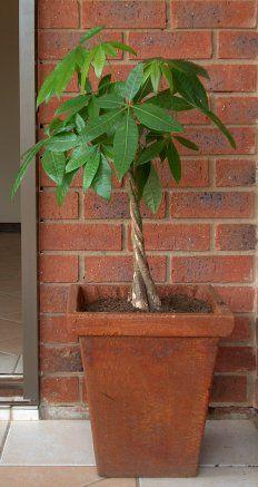Pachira Aquatica - The Money Tree Plant