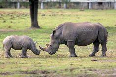 Rhino -mum & baby, touches my heart. god bless these precious threatened animals...
