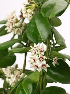 The ten best flowering potted plants for beginners #aloeveraplantindoor Hoya Plants, Potted Plants, Indoor Plants, Aloe Vera Plant Indoor, Rats, Gardens, House, Inspiration, Wax