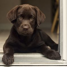 .chocolate lab pup. Awww! I miss when Roxy was that little.....
