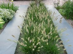 """Pennisetum alop """"Hameln"""" nu zeer lage afhaalprijzen, zie oa www. Back Gardens, Small Gardens, Outdoor Gardens, Modern Landscaping, Backyard Landscaping, Dream Garden, Home And Garden, Contemporary Garden, Landscaping Ideas"""