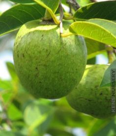 Tropical guava psidium guajava hawaii kuawa goiaba live rare fruit delicious tropical pond apple annona glabra ann gla ccuart Image collections