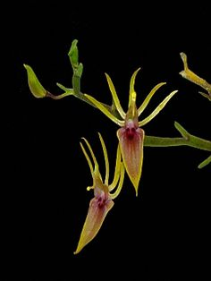Miniature-orchid / Micro-orquídea: Hofmeisterella eumicroscopica - A miniature-sized, cool to cold-growing epiphyte from Colombia, Ecuador, Venezuela, Peru and Bolivia low down on exposed branches of small shrubs in montane cloud forests at altitudes of 1600 to 2400 meters.