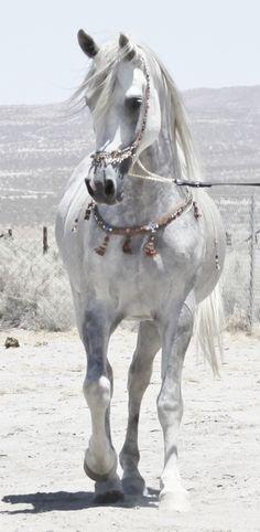 SC Desert Star Arabians