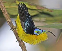 Yellow-bellied Sunbird-Asity, Madagascar