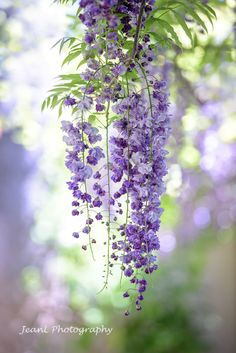 藤 Wisteria by Jean Li - Photo 253834413 / Pretty Flowers, Wild Flowers, Purple Wisteria, Wisteria Bonsai, Wisteria Trellis, Wisteria Garden, Wisteria Wedding, Wisteria Pergola, Purple Flowers Wallpaper
