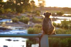 A baboon watching the sunset