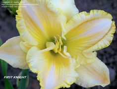 View picture of Daylily 'First Knight' (Hemerocallis) at Dave's Garden.  All pictures are contributed by our community.