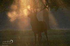 Red Deer, Jeleń szlachetny (Cervus elaphus) - Photographer London, www.moonflash.eu