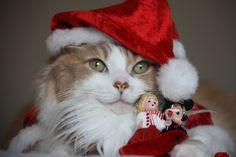 Holiday Christmas  Santa Hat Cat Wallpaper