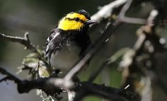 All golden-cheeked warblers nest in the old-growth, oak-juniper woodlands of central Texas, then spend winter in various parts of Mexico and...