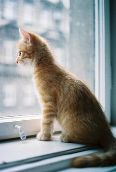 A curious cat. I Love Cats, Crazy Cats, Cute Cats, Baby Animals, Cute Animals, Cat Watch, Curious Cat, Orange Cats, Here Kitty Kitty