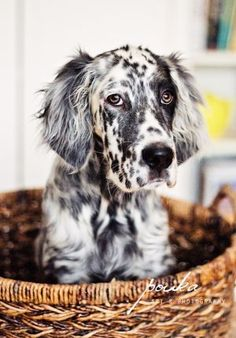 English Setter- PuppyBasketFB.jpg   www.pouka.com