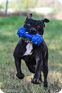 chouteau, OK - Labrador Retriever/American Pit Bull Terrier Mix. Meet Sissy, a dog for adoption. http://www.adoptapet.com/pet/9170599-chouteau-oklahoma-labrador-retriever-mix