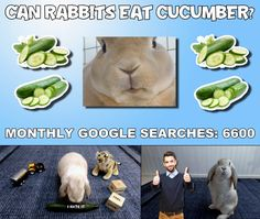 Your rabbit may or may not like cucumbers, mine didn't, however its perfectly safe for rabbits to eat Rabbit Eating, Rabbit Food, Rabbit Gif, Pet Rabbit, Feeling Loved, Rabbits, Cucumber, Bunnies, Canning