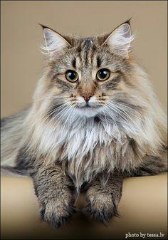 Miss Fluffy Pants?? Norwegian Forest Cat