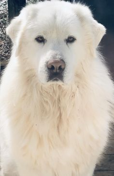 My boys winter coat finally came in. Cute Dogs And Puppies, Big Dogs, I Love Dogs, Doggies, Pyrenees Puppies, Great Pyrenees Puppy, Beautiful Dogs, Animals Beautiful, Cute Animals