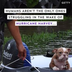 Watch this video to learn how animals are being rescued after Hurricane Harvey.