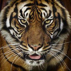 So gorgeous! Tigers take my breath away...
