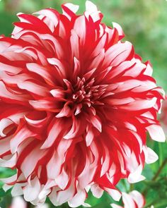 'santa claus' dahlia. had these in my garden last summer. <3