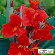 Canna Lily The President   Canna Lily   Large Flowering Canna Lily   Low Water Plants, Eco Friendly Landscapes  Spring-Planted Flower Bulbs from High Country Gardens