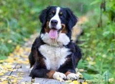 https://topdogtips.com/best-dog-food-for-bernese-mountain-dog/