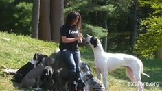 """Webcams follow Great Dane service pups  For every 1,000 """"likes"""" or followers the organization receives on its Facebook, Pinterest and Tumblr pages, Dog Bless You will donate one service dog to a disabled veteran. More than 150 service dogs have been donated since June. The 3-month-old dogs will soon begin training to assist mobility-impaired veterans and people with diseases like multiple sclerosis."""