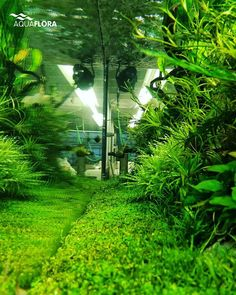 Planted Aquarium Forest Park Fish Tank Fresh Water Tropical Fish Fish Tanks Aquascaping Horticulture Terrariums Underwater & staurogyne repens and blyxa All of my blyxa bloomed then melted ...