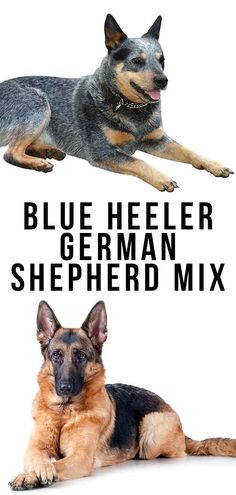 The Blue Heeler German Shepherd mix is energetic, loyal and very intelligent. Here's what you need to know before you commit to this lively mix. Puppy Training School, Puppy Training Classes, Dog Training, Training Videos, Cesar Millan Puppy Training, German Shepherd Mix Puppies, Australian Cattle Dog, Dogs And Puppies, Lincoln Uk