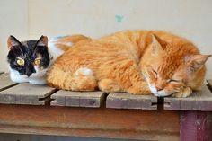 農家で飼われている雑種猫 / Japan Cat (hybrid) that are kept on a Farm
