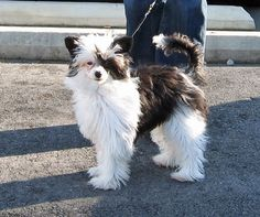 Chinese crested powder puff - okay i will have you