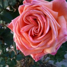 One of the pink roses growing in my yard! Only in Arizona flowers bloom in the winter.