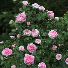 rose alba 39 konigin von danemark 39 garden dry roses companion plants pinterest rose. Black Bedroom Furniture Sets. Home Design Ideas