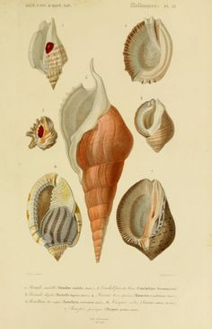 Art - Vintage Sea Shells - Natural History Print