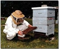 """""""Beginning with Bees"""" seminar this Saturday at the New Orleans Botanical Garden    You can help save America's disappearing honeybees and also get your own personal stash of golden honey and high-value beeswax.    Let's hear it for urban (and suburban) backyard agriculture!"""