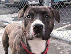 1/12/14 STILL AVAILABLE!!!  SUPER URGENT 12/31/13 Brooklyn Center -P  SIMON. A0987445 Male br brindle and white pit bull mix. The shelter thinks I am about 2 YEARS Doesn't pull on leash and definitely seems house trained. Very friendly and loving. No apparent problems when encountering other dogs on walks.  Simon didn't pull hard when hitting the end of his leash, just adjusted his pace. He really deserves a good home! SIMON ★