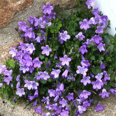 Campanule des murs - Vivace persistante (0,15m) idéale en bordure, couvre-sol et rocaille. Floraison printanière violette.