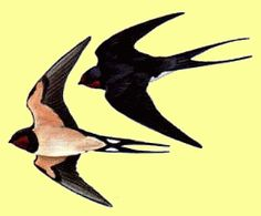 cliff swallow shape, the typical form or shape of a swallow in flight feeding, nesting of cliff swallows