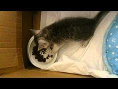 うまうまうま~♪子猫の可愛すぎる食事 - YouTube